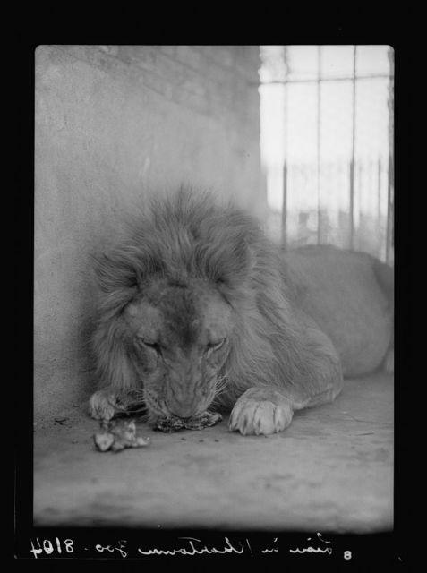 Sudan. Khartoum. Khartoum Zoo. Lion having a snack