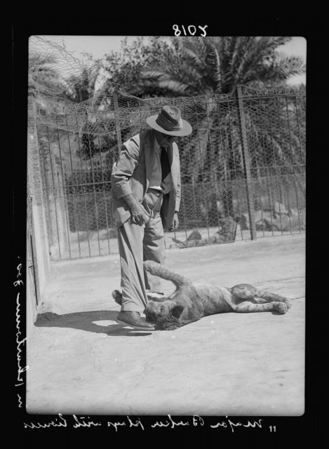 Sudan. Khartoum. Khartoum Zoo. Major Barker, Director, plays with a young lioness