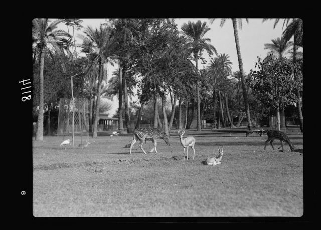 Sudan. Khartoum. Khartoum Zoo. Spotted deer and gazelles (Rusa axis)