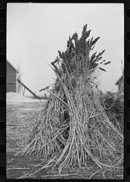 Sugarcane is grown as fodder in many farms in Emmet County, Iowa