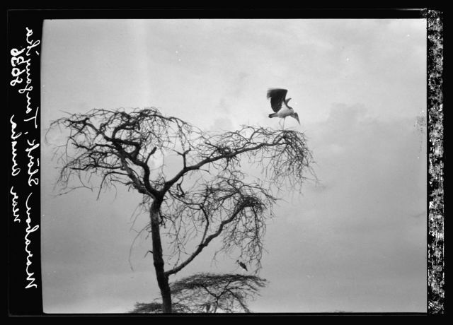 Tanganyika. En route to Longido. Stork alighting on tree top