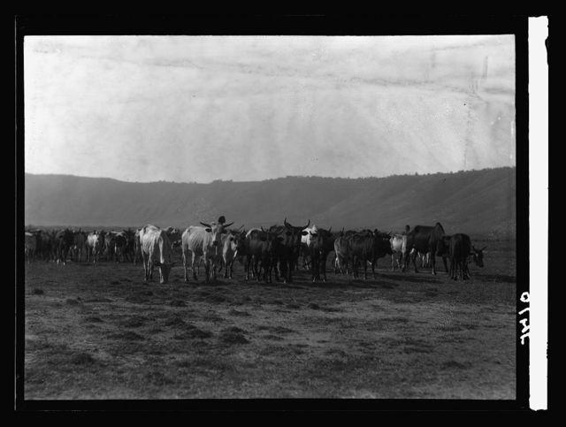 Tanganyika. Ngorongoro Crater. Herd of cattle in the crater