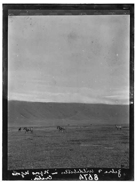 Tanganyika. Ngorongoro Crater. Zebra