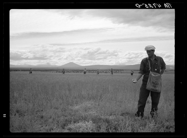 The United States Biological Survey has cooperated with the Resettlement Administration in its efforts to stop the extensive damage done to crops in central Oregon. A group of Resettlment Administration men are spreading rotted oats mixed with strychnine in a wheat field almost ruined by kangaroo rats