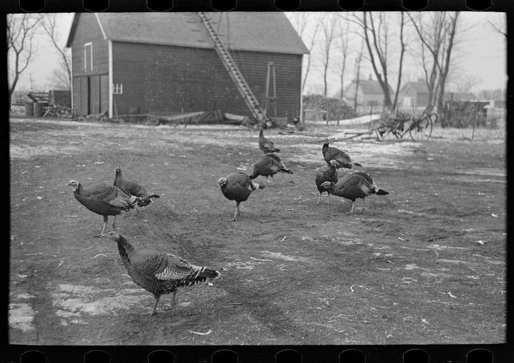 Turkeys on Rex Inman's farm near Estherville, Iowa