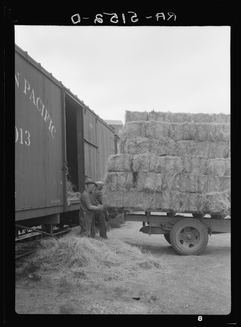 Unloading hay. Dickinson, North Dakota