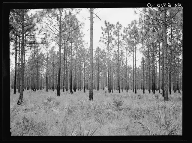Young pine timber (longleaf). Typical of better stands on area of Coastal Flatwoods agricultural demonstration project. Near Waycross, Georgia
