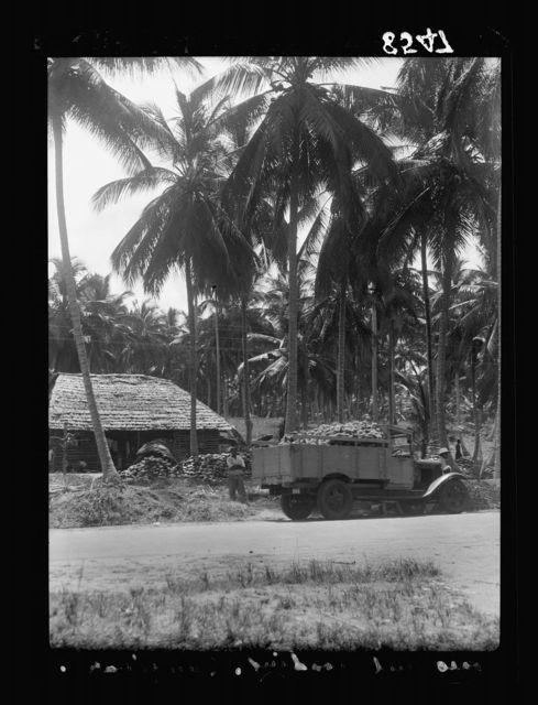 Zanzibar. Cocoanut [i.e., coconut] farm