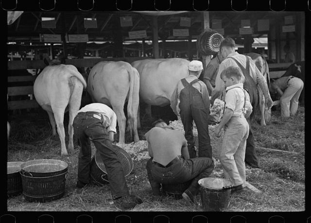 4-H Club boys taking care of their cows, State Fair, Rutland, Vermont