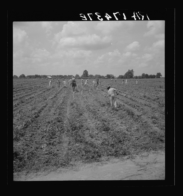 A crew of 200 hoers were brought to the Aldridge Plantation to hoe cotton for one dollar a day. Many of these are ex-tenant farmers