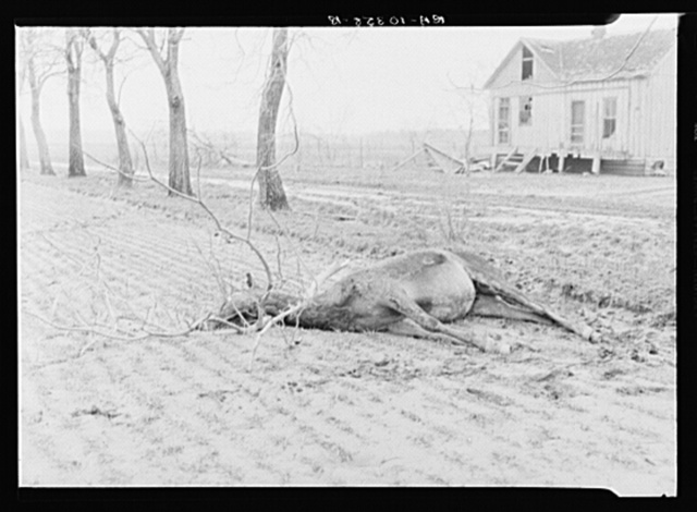 A drowned mule who was caught on the limb of a tree. Posey County, Indiana. 1937 flood