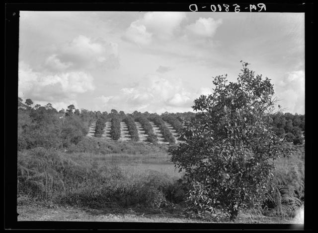 A Florida orange grove. Polk County, Florida