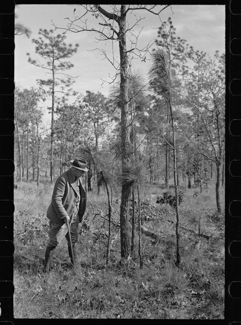 A large blackjack oak which prevents smaller pine trees from growing properly, Withlacoochee Land Use Project, Florida