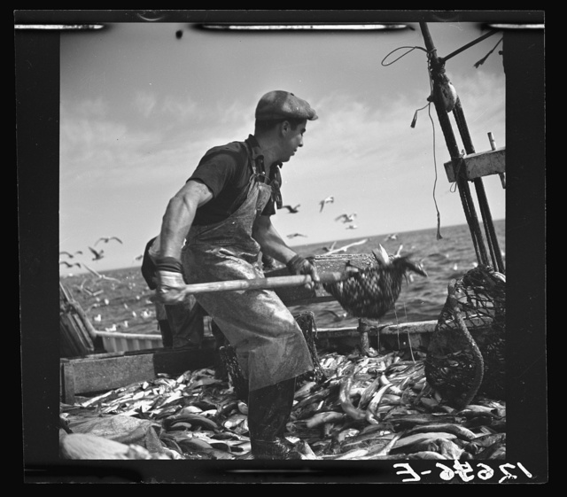 Aboard a trawler. Shoveling fish from deck into troughs at the railing. Provincetown, Massachusetts