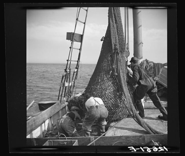 "Aboard a trawler. The net comes aboard. Each net (there are two) usually drags about an hour, is then brought aboard by the power winch. Crew and captain work on ""shares."" Commonly one share to each man, one to captain and one to boat. Captain maintains boat. Provincetown, Massachusetts"