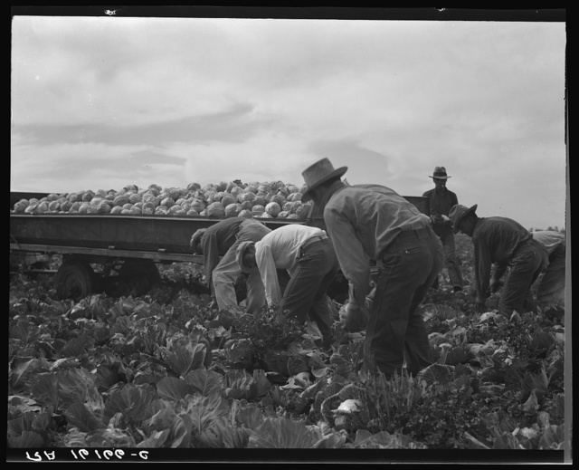 Cabbage cutting and hauling by new Vessey (flat truck) system, now also used in carrots and lettuce. Imperial Valley, California
