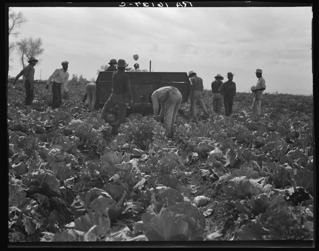 Cabbage harvesting. Imperial Valley, California