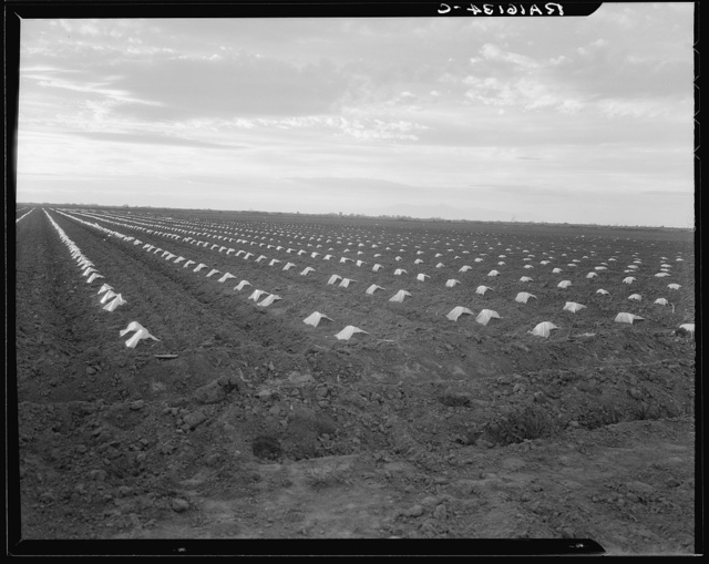 Capped cantaloupe. Imperial Valley, California