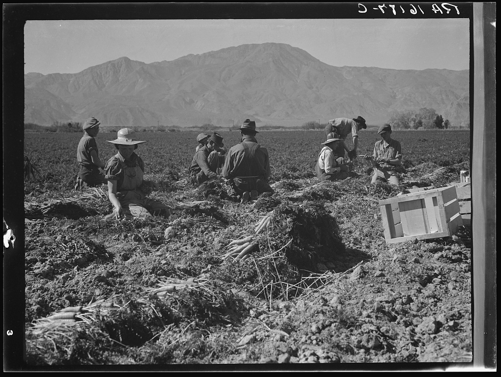 """Carrot pullers from Texas, Oklahoma, Missouri, Arkansas and Mexico. Coachella Valley, California. """"We come from all states and we can't make a dollar a day in the field no ways. Working in the field from seven in the morning till twelve noon we earn an average of thirty-five cents"""""""