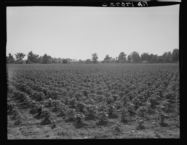 Check row planted cotton. Touchberry Plantation, Issaquena County, Mississippi. This method, long used in corn in order to permit cross cultivation, eliminates as much as two thirds of the usual hand hoeing costs