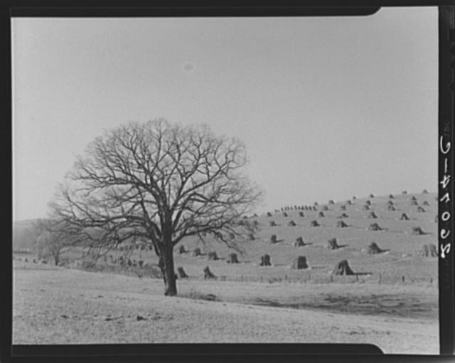 Corn field. Washington County, Maryland