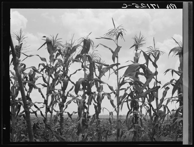 Corn. Washington County, Mississippi