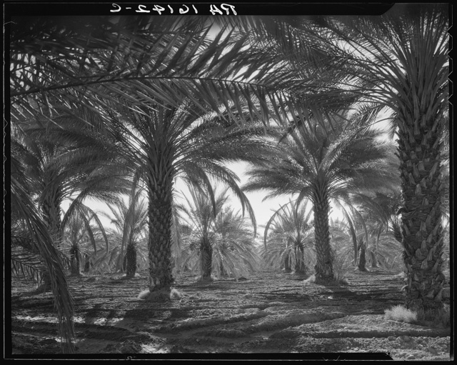 Date palms. Coachella Valley, California