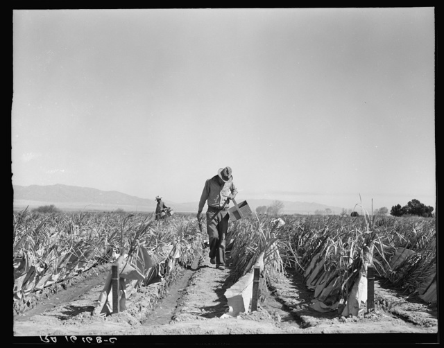 Desert agriculture. Brushed chili field. Replanting chili plants on a Japanese-owned ranch. Sticks, palm leaves and paper are used for protection against wind and cold. Tomato plants are cultivated by the same method. Imperial Valley, California