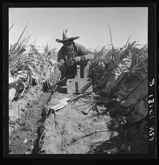 Desert agriculture. Brushed chili field. Replanting chili plants on a Japanese-owned ranch. Imperial Valley, California