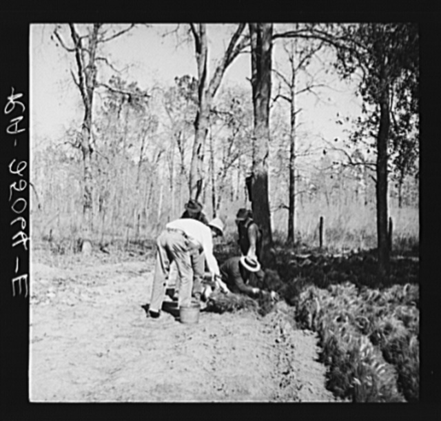 """During planting operations, pine trees taken from the nursery are kept in good condition by the process of """"healing in"""" near the planting area. Withlacoochee Land Use Project, Florida"""