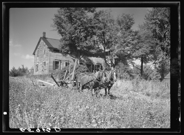 Ellery Shufelt cutting buckwheat. Land use project. Albany County, New York