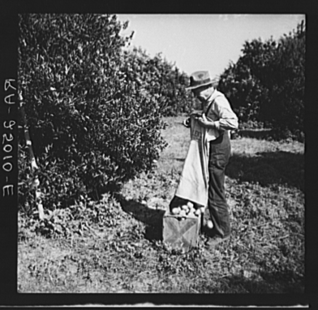 Emptying a bag of tangerines that have just been picked. Hernando County, Florida