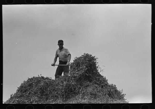 Farmer pitching pea vines atop truck, on farm near Sun Prairie, Wisconsin