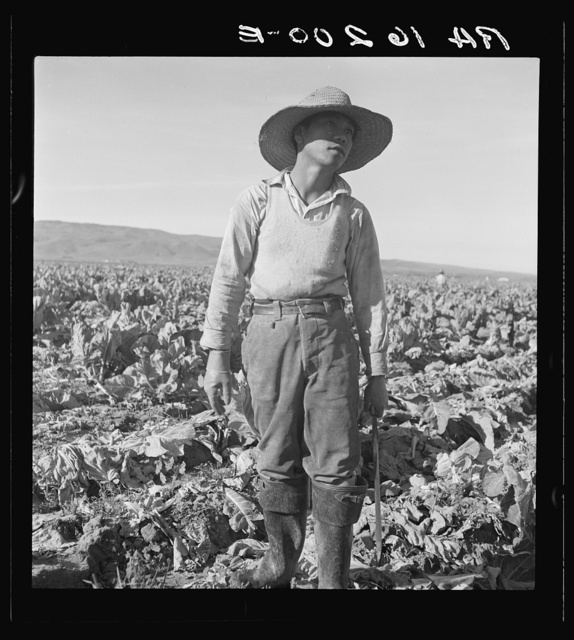 Filipino boy of a labor gang cutting cauliflower near Santa Maria, California