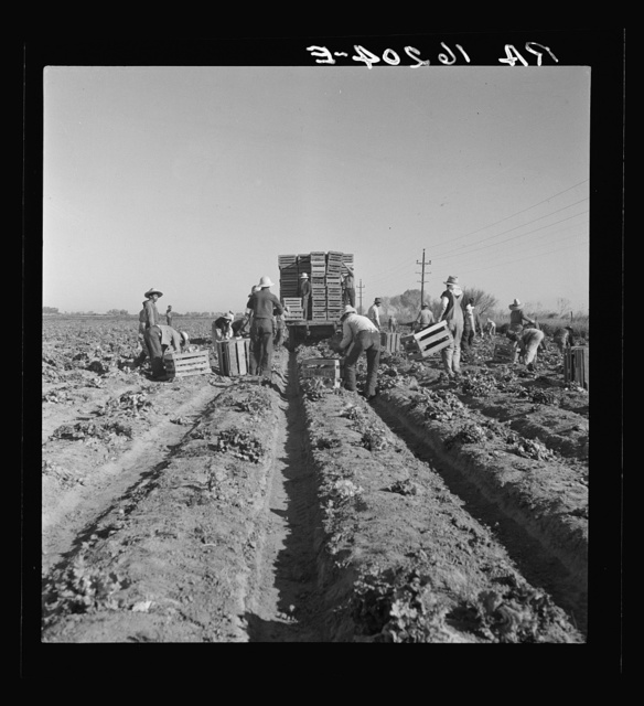 Filipino crew of fifty-five boys cutting and loading lettuce. Imperial Valley, California