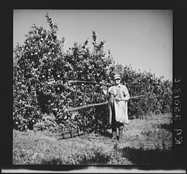 Fruit picker. Hernando County, Florida