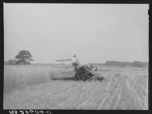 Harvesting wheat. Queen Anne County, Maryland