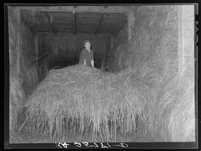 Hired man unloading hay. McNally Farm, Kirby, Vermont