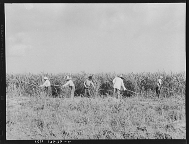 Hoeing sugarcane on plantation in Louisiana