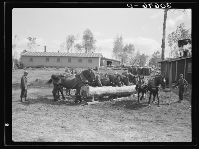 Horses being watered at lumber camp near Effie, Minnesota. The trough was made from a log with a broad axe