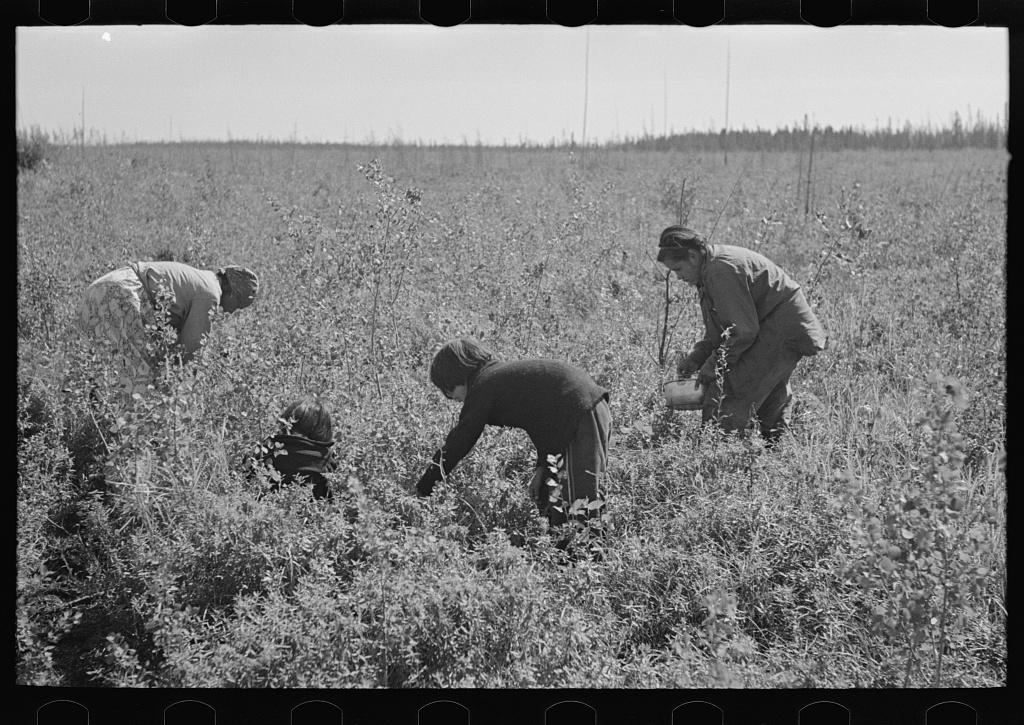 Indian family picking blueberries near Little Fork, Minnesota