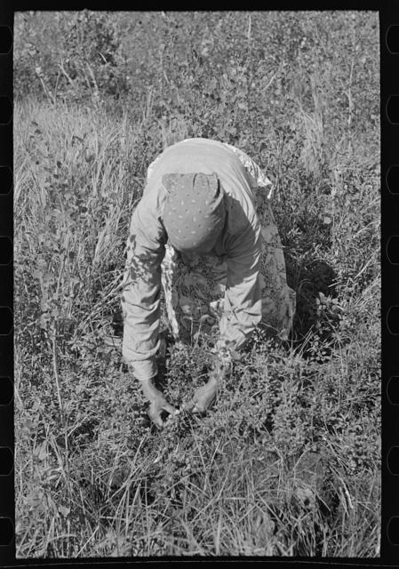 Indian woman picking blueberries, near Little Fork, Minnesota