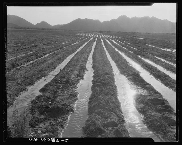 Irrigated field of cotton seventy miles from Phoenix, Arizona