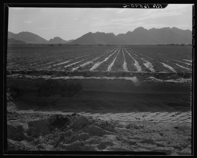 Irrigated fields of Acala cotton seventy miles from Phoenix, Arizona