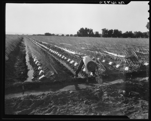 Irrigator in brushed and capped cantaloupe field. Imperial Valley, California