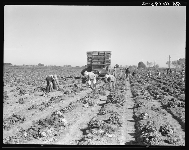 Lettuce cutting in the Imperial Valley, California. A Filipino crew of fifty-five boys, migrants
