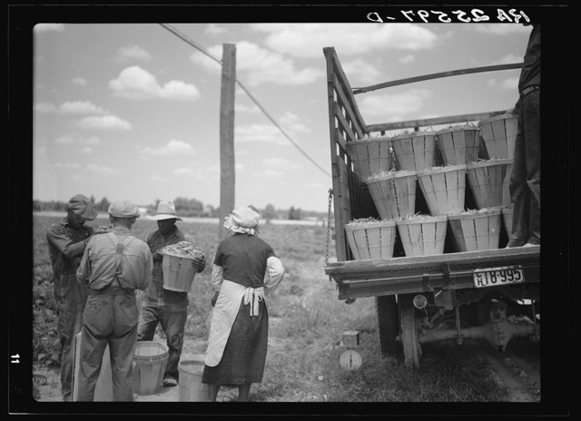 Loading a truck with string beans. Near Cambridge, Maryland