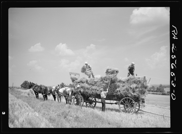 Loading wagon with wheat for threshing. Frederick County, Maryland