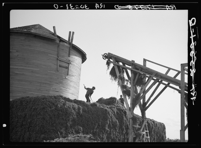 Men leveling stack of peas coming from conveyor at vinery near Sun Prairie, Wisconsin
