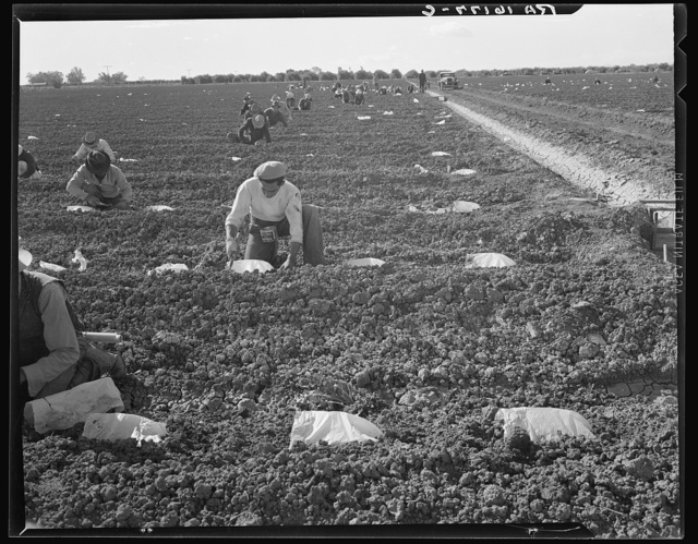 """Mexican gang of migratory laborers under a Japanese field boss. These men are thinning and weeding cantaloupe plants. Wages thirty cents an hour. These young plants are """"capped"""" with wax paper spread over a wire wicket to protect against cold and to accelerate growth. Imperial Valley, California"""